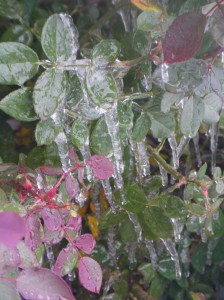 Ice on the rose bush.